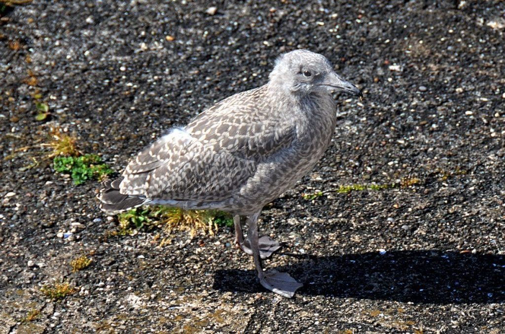 Very young baby seagull