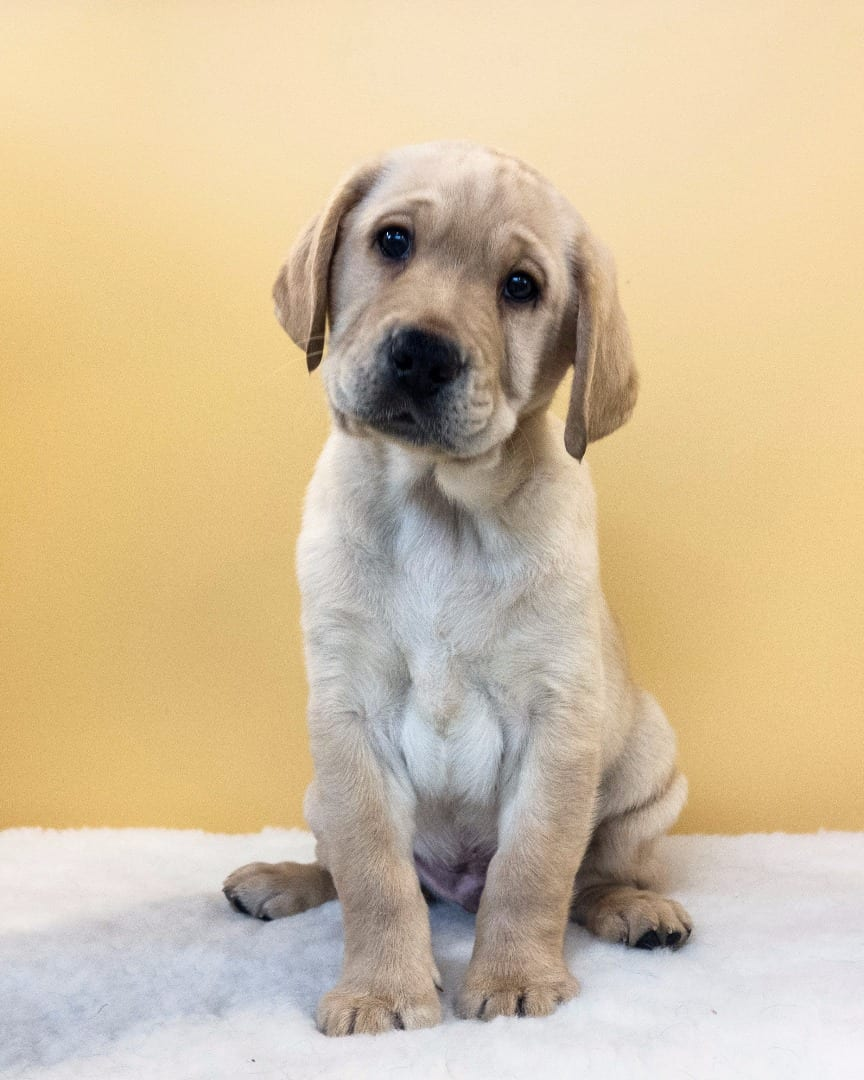 Community Guide Dog Puppy Named Wyre