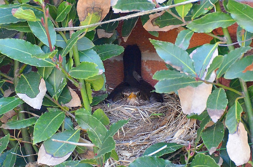 Nesting blackbird in our garden. Big garden birdwatch