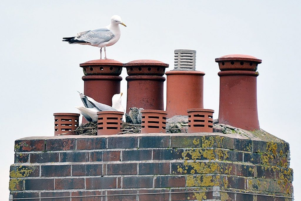 Seagulls nesting on a chimney