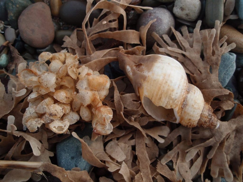 Whelk shell and egg cases
