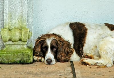 Have you got a spaniel? Do you like dogs? Come along to the North West Big Spaniel Walk