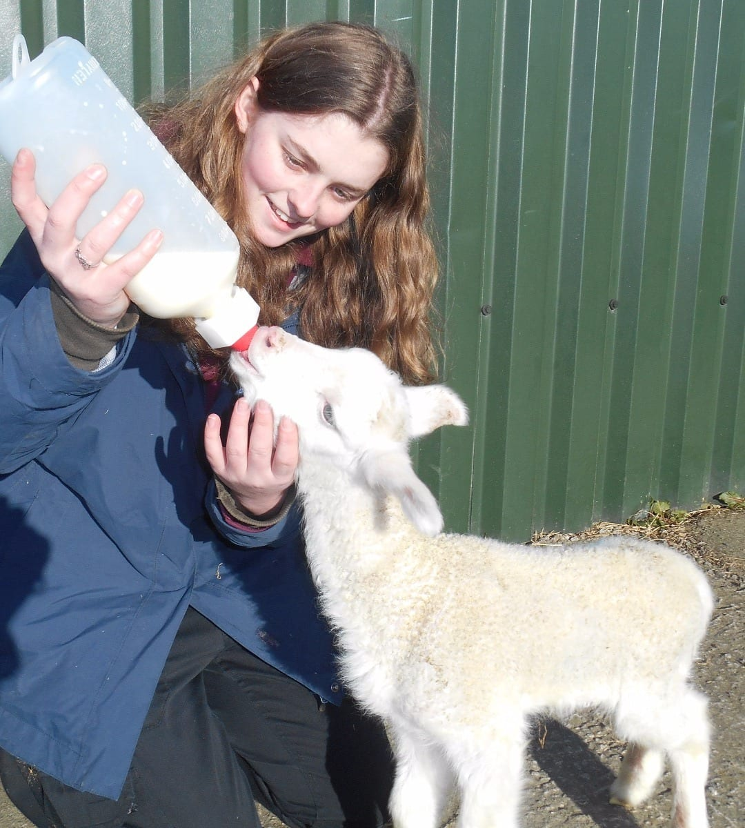 Lambs at Farmer Parrs