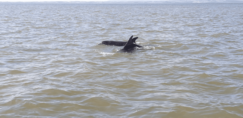 Dolphin swimming in Morecambe Bay. Photo: Richard Williams