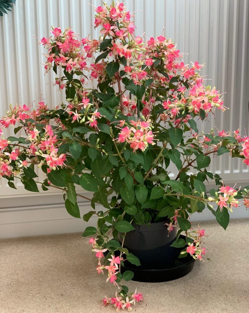 My lovely fuchsia, carried upstairs by my knight in shining armour!